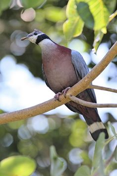 Collared Imperial Pigeon(Ducula mullerii)