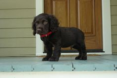 Such a cute puppy Relaxing Free Fun And Unique Dog Training E-book Featuring 21 Brain Games To Increase A Dogs Intelligence . Boykin Spaniel Puppies, Spaniel Breeds, Springer Spaniel, Dog Breeds, Kittens And Puppies, Cute Cats And Dogs, Cute Puppies, Dog Garden, Brown Dog