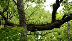 "Папоротник ""Многоножка уссурийская"" (заказник ""Леопардовый""). © М. А. Кречмар (http://kiowa-mike.livejournal.com/). #Tree #Trees #Fern #Ferns"