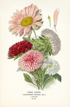 #China Asters; original chromolithographed prints from this lovely, scarce work by Edward Step & William Watson from color plates selected and arranged by D. Bois of the Natural History Museum of Paris.