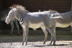 Grevys Zebra Conservation