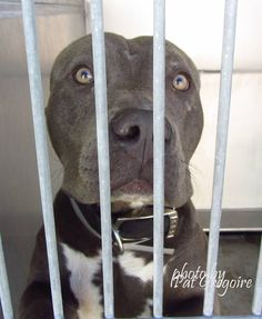 08/25/15-A4857421 I am a very friendly 1.5 yr old male gray/white pit bull mix. I came to the shelter as a stray on July 20. available 7/24/15. located in bldg 4 - no public view NOTE: Pit bulls are not kept as long as others so those dogs are always urgent!! Baldwin Park shelter https://www.facebook.com/photo.php?fbid=1004062229605614&set=a.705235432821630&type=3&theater