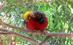 Golden pheasant - A golden pheasant watching from a tree.
