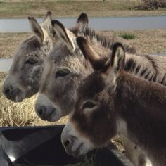 Marie, Maggie, Mollie our Mini Donkeys