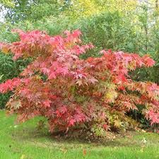 "Possibilities: Acer Palmatum Osakazuki, ""Japanese Maple Tree"" maxes out at feet. Small Back Gardens, Small Trees For Garden, Plants Under Trees, Garden Trees, Garden Plants, Garden Bed, Acer Garden, Fast Growing Shrubs, Gardens"