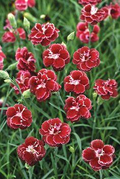 Fruit Punch® 'Black Cherry Wild' - Pinks - Dianthus hybrid