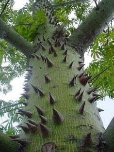 Science Discover Ceiba Tree Common Name is Kapok Native to Mexico. Wonder if the & Tree Inn& still exists in FL? Weird Trees Unique Trees Old Trees Nature Tree Tree Forest Tree Art Amazing Nature Trees To Plant Mother Earth Weird Trees, Unique Trees, Old Trees, Nature Tree, Tree Forest, Tree Art, Amazing Nature, Trees To Plant, Shrubs
