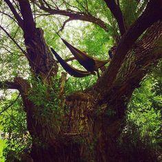 As kids we had tree forts as adults we have tree hammocks. #hobohammocks #hammocking #treefort #trees #nature #hammocklife #festivalgear #camping #hammockbunks by @hobohammocks