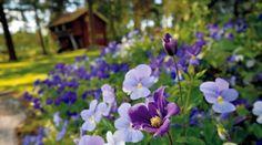 Suomi-penkissä kallion kohopetiä koristaa muun muassa sininen tiukukärhö  Arabella .