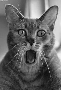 10 Cats Making Silly Faces - Cats Tips & Advice Silly Cats, Cats And Kittens, Funny Cats, Funny Animals, Cute Animals, I Love Cats, Crazy Cats, Cool Cats, Beautiful Cats
