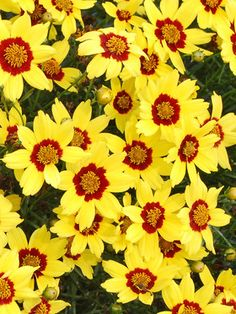 Coreopsis Gold Nugget Blazing red eye accentuates swarms of golden daisy-like flowers. Extremely long blooming, compact mound of bright green ferny leaves. When Coreopsis Gold Nugget is mixed with orange and red flowers it creates a floral fireworks display. - See more at: http://www.bluestoneperennials.com/COGN.html#sthash.zJwynhlu.dpuf