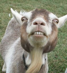 Sister's Worst fear! I SEE YOU GOAT - photo image goats - Yahoo! Search Results