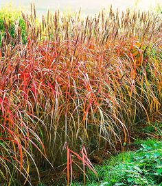 Miscanthus-Hecke,1 Pflanze