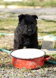 Ellie,  week old East German female puppy looking dangerously cute