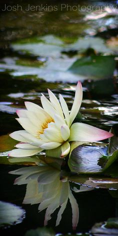 Water lilies are one of my favorite flowers partly because their reflection doubles the beauty! josh jenkins photography