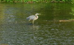 Blue Heron at Lake Luxembourg