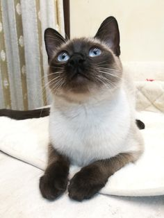 Siamese Dream, Siamese Cats, Seal Point Siamese, Cat Life, Animal Kingdom, Cats Of Instagram, Cute Cats, Cat Lovers, Twins