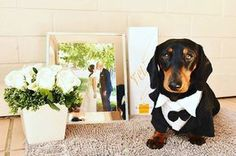 Congratulations to the lovely new couple on getting married! @obi_the_dachshund has some pawsome hooomans!