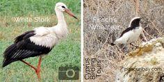 CyprusBirdingTours.com photos: #WhiteStork and #FinschsWheatear at Agios Sozomenos, Nicosia Oct 2015. Also spotted, a juvenile #BonellisEagle, a Long-legged Buzzard, a #CommonBuzzard and a #EurasianSparrowhawk, a #PeregrineFalcon and numerous #WesternJackdaws. Reshared by Nikki at pissouribay.com.