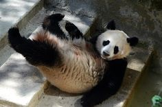 Xing Bao, a seven month-old male baby giant panda, investigates his enclosure at Madrid Zoo for the first time