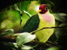 fruit dove - Google Search