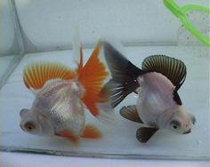 The Goldfish Forum