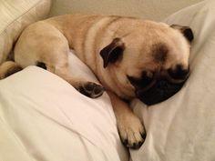Cute sleeping pug.
