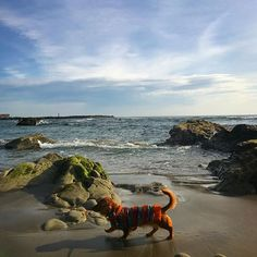 火曜の朝は遅い朝んぽ🐾🐾あったかくてku'uさんゴキゲン🐶💕 #朝んぽ#おさんぽ#海#sea#ワンコ#わん#犬#dog#ダックス#ダックスフンド#愛犬#短足#親バカ