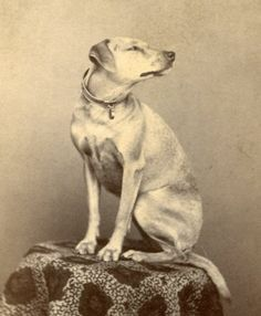 Great Dog - Dramatic Pose on Table by Myers Mechanicsburg PA Photos With Dog, Pet Photos, Dog Pictures, Animal Magic, Photographs Of People, Vintage Dog, Old Dogs, Black White Photos, Vintage Pictures