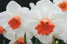 Daffodil Cool Flame