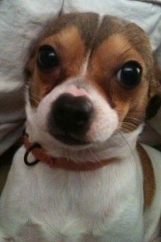 Woody our Toy foxyhuahua or Taco: toy fox terrier chihuahua mix, look at his big eyes. <3 him!