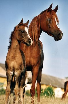 Arabian Egyptian horse