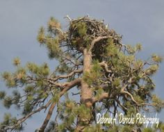 Ospray @ Lake Davis California