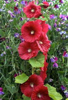Perennial hollyhock Alcea 'Mars Magic' Annie's Annuals & Perennials
