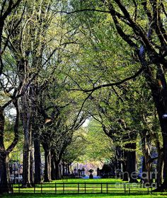 Large mature American Elm trees line the area of New York City's Central Park called The Mall in regal splendor.