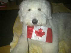 Here is a photo of our Emma (old English Sheepdog), showing off her true Canadian spirit. Best Regards, Rick Martin