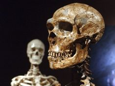 reconstructed Neanderthal skeleton, right, is displayed next to a modern human skeleton at the Museum of Natural History in New York. A new study shows humans and Neanderthals interbred years ago, far earlier than thought. Human Dna, Human Genome, Human Body, Ancient Aliens, Ancient History, Ancient Egypt, Homo Sapiens Sapiens, Human Family Tree, Early Humans