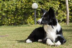 border collie puppy dog relaxed in the garden