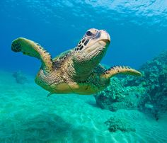 diving in hawaii sea turtles |