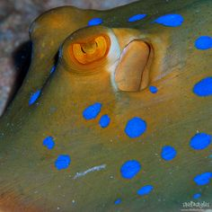 Blue Spotted Stingray - detail | by StellaStyles
