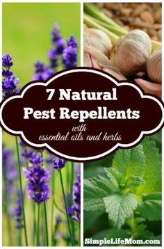 7 Natural Pest Repellents made with essential oils and herbs that fight against ticks, stink bugs, deer in the garden, ground bees, mosquitoes organically.