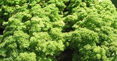 Petersilie zählt zusammen mit Schnittlauch zu den Küchenkräutern, die man unbedingt im Garten haben sollte. Mit der richtigen Fruchtfolge können fast das ganze Jahr hindurch feine aromatische Blätter geerntet werden.