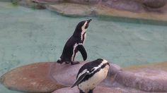 Pinguine in der wilhelma