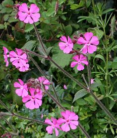 Red Campion - Silene dioica. This is a very common roadside flower in Cornwall.
