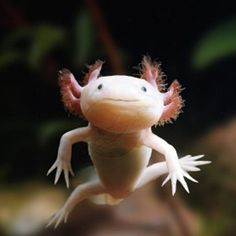 Creatures This is a collection of awesome and interesting creatures I stumbled upon. The creature on this post is a leucistic Axolotl (Ambystoma mexicanum). Also known as the Mexican salamander or water monster and are actually close to frogs in that they belong to the class Amphibia. The leucistic form... http://www.behind-the-scenes.co.za/creatures-collection/