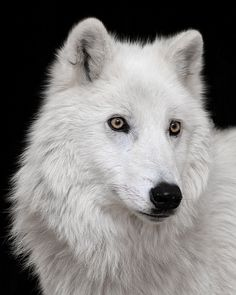 This is Atka, an Arctic wolf residing at the Wolf Conservation Center in South Salem, NY by bob1217
