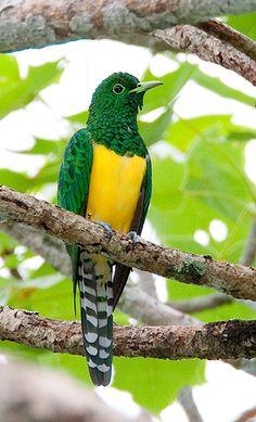 Emerald Cuckoo.