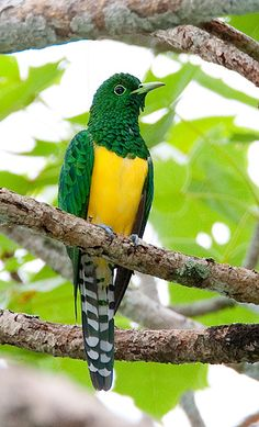Emerald Cuckoo ~ even the birds say GO PACK GO