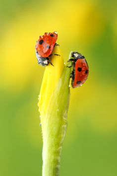 Two Ladybirds resting at the tip of a juvenile Daffodil flower.