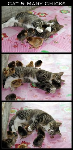The baby chicks are loving the kitty cat, and the kitty cat holding some chicks. I Love Cats, Crazy Cats, Cute Cats, Funny Cats, Baby Animals, Funny Animals, Cute Animals, Animal Memes, Unlikely Friends